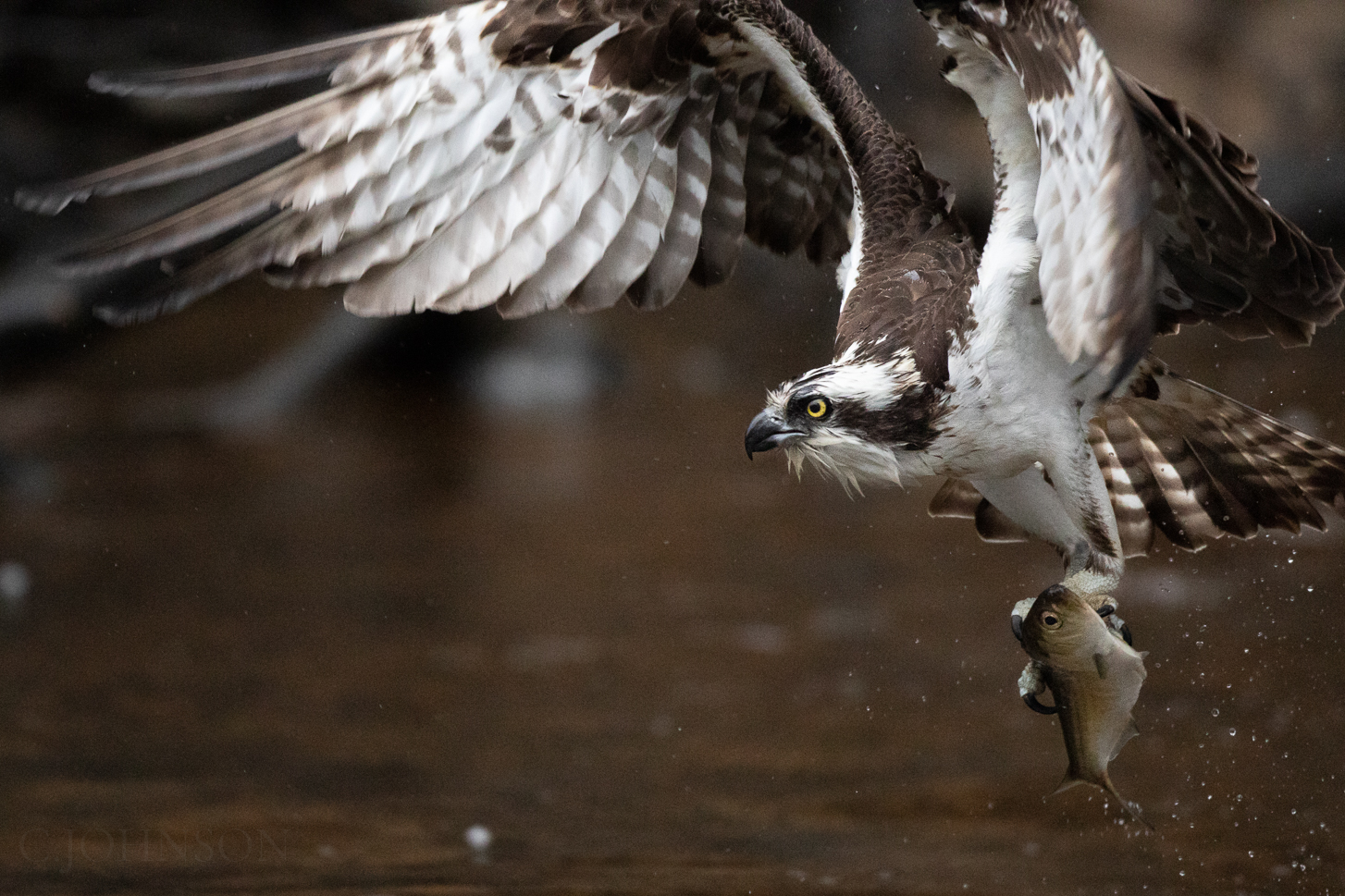 A little too much lens (and rain) shooting Osprey today, but I'll take it!